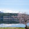静かな湖畔の桜