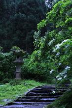 灯籠とヤマアジサイ
