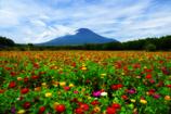 富士と百日草