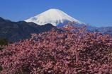 爽快な富士と河津桜