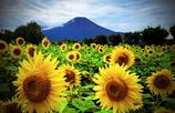 富士と向日葵Ⅱ