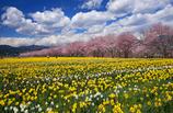 水仙咲く桜並木