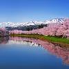妙高連山桜並木