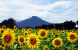 富士と向日葵
