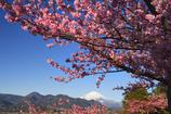 爽快な富士と河津桜Ⅱ