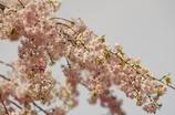ぐるり廻って枝垂れ桜に帰ってきました 1 小石川後楽園