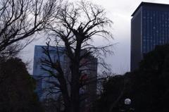 イチョウの老木