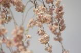 ぐるり廻って枝垂れ桜に・・・ 2 小石川後楽園