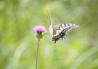 アゲハチョウ 1 自然教育園 9月