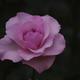 薔薇 15