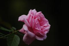 薔薇 12