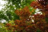 緑化中の紅葉 旧芝離宮庭園 6月