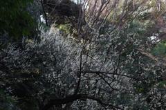 白梅のある園景