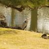 アオサギ 旧浜離宮庭園