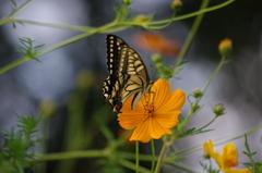 アゲハ蝶と秋桜と