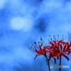 青に浮かぶ赤い彼岸花
