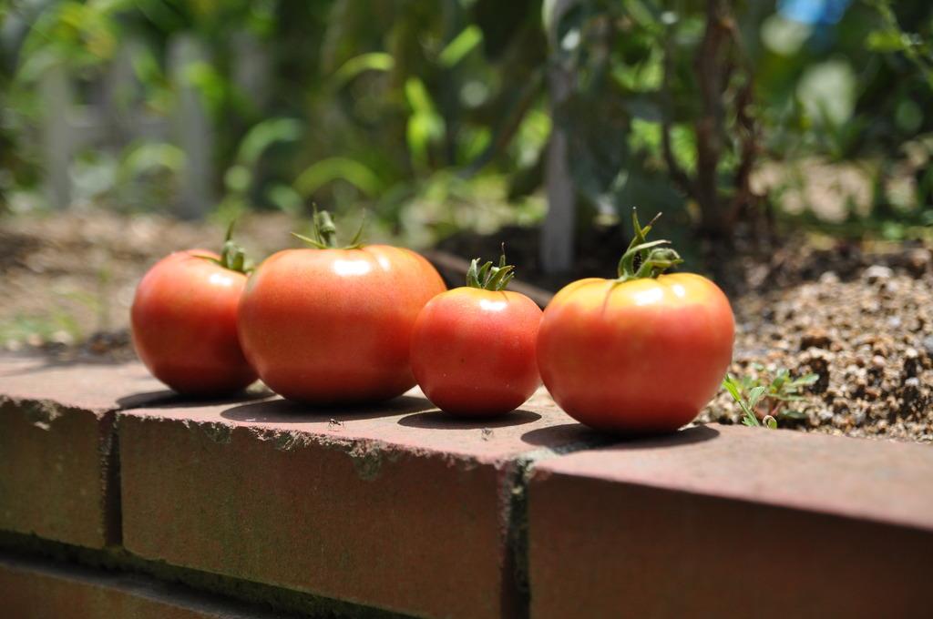 トマト家族