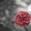 Nostalgic Rose