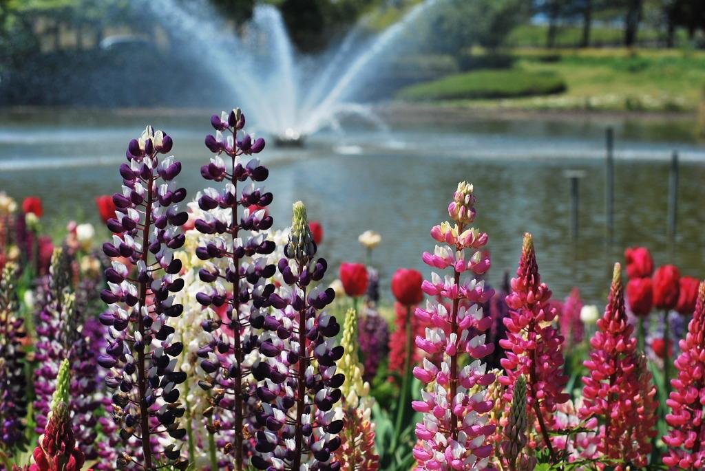 ルピナス咲く公園