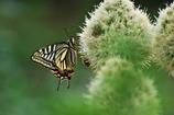 蝶とネギ坊主