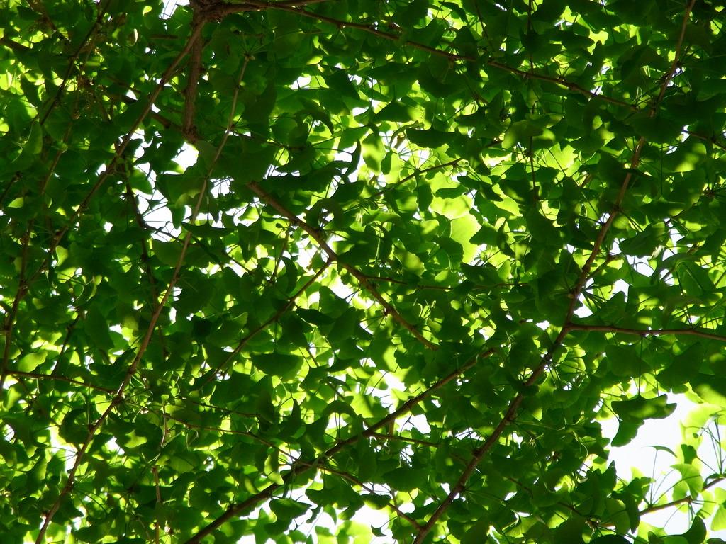 神宮外苑 銀杏の若葉