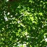 RICOH CX1で撮影した風景(神宮外苑 銀杏の若葉)の写真(画像)