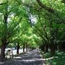 RICOH CX1で撮影した風景(神宮外苑 銀杏並木)の写真(画像)