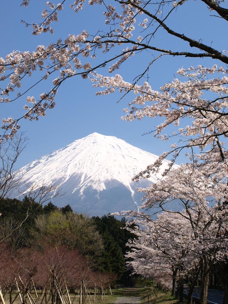 霊峰富士の麓は桜満開