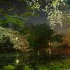 三島大社夜桜