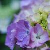 紫陽花まだ若く。