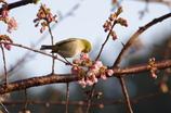 メジロと冬桜