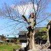 ケヤキの木2