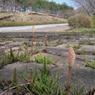 NIKON COOLPIX S600で撮影した植物(はる)の写真(画像)