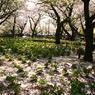 PENTAX PENTAX K100Dで撮影した風景(桜の雪)の写真(画像)