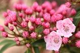 ピンクの蕾