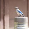 大学に来た青い鳥