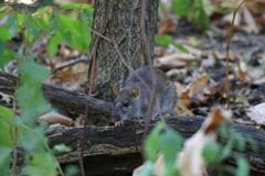 セントラルパークのネズミ