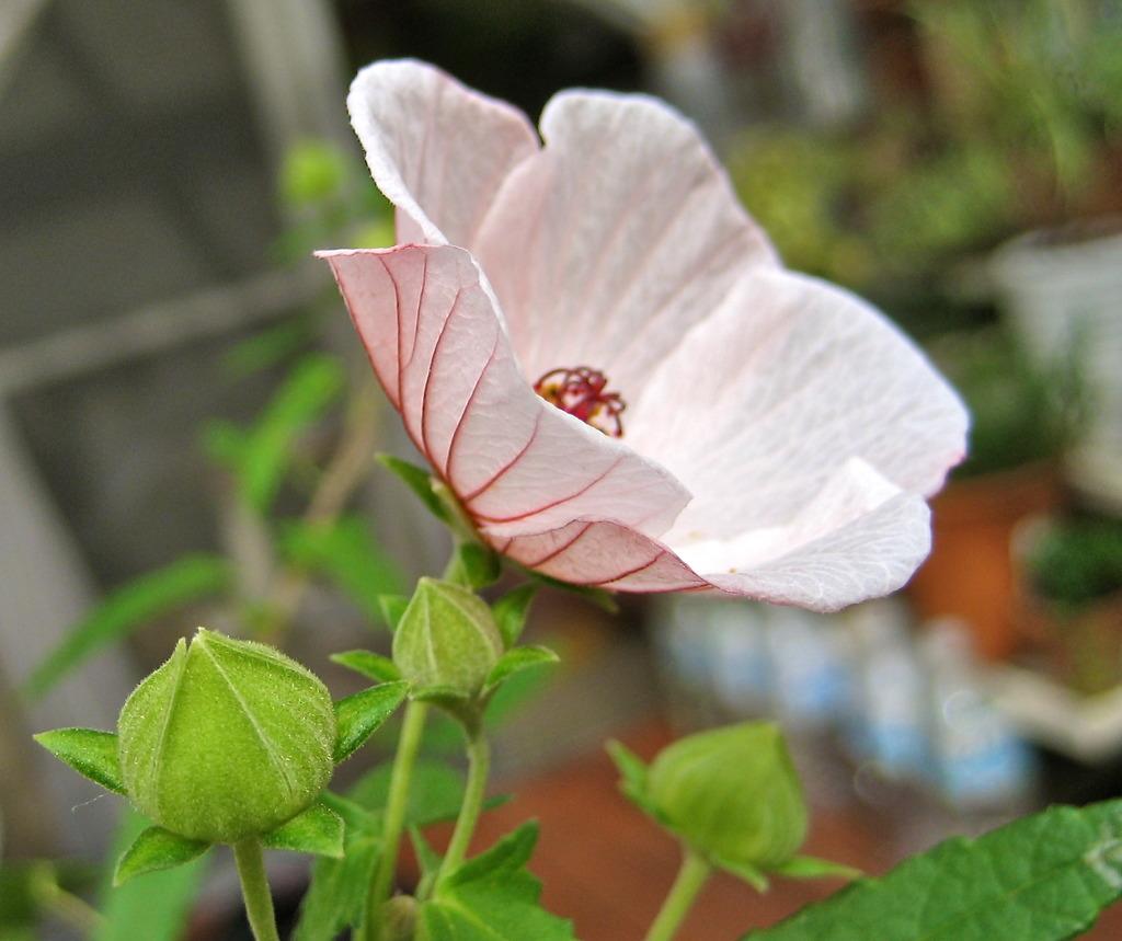 parabola flower