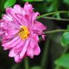 虻と秋明菊