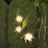 CASIO EX-S600で撮影した植物(月下美人)の写真(画像)