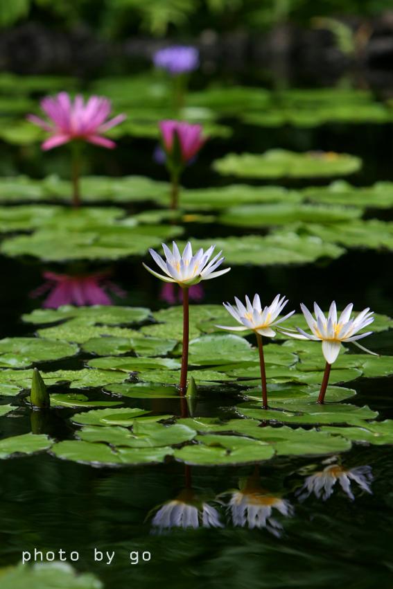 lotus0033