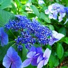 紫陽花の花言葉