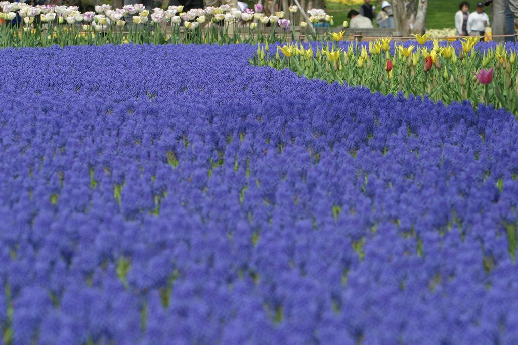 紫のじゅうたん