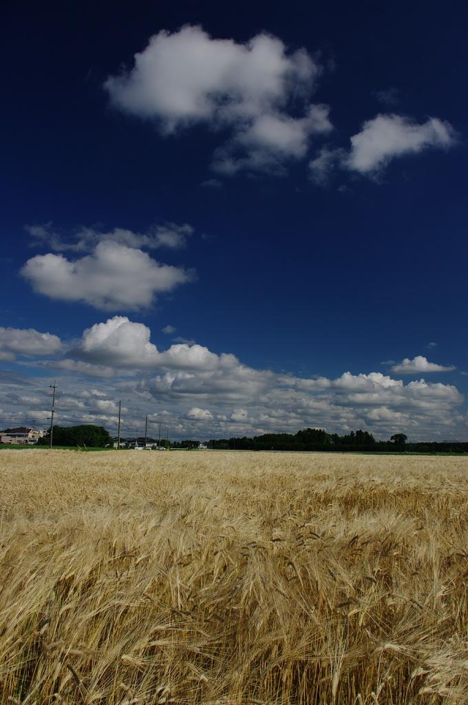 麦畑と青空(1425)