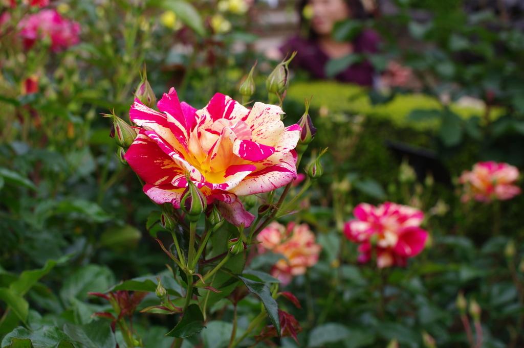 旧古河庭園のバラその6