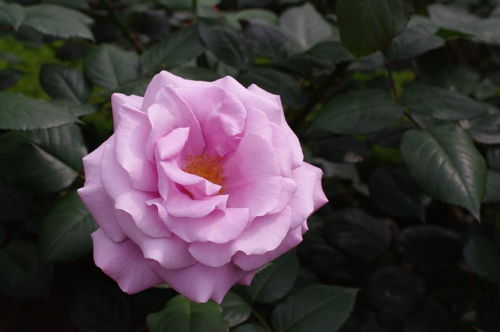 旧古河庭園のバラその2