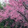 RICOH RICOH GX200で撮影した(櫻花樹)の写真(画像)