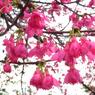 RICOH RICOH GX200で撮影した(櫻花)の写真(画像)