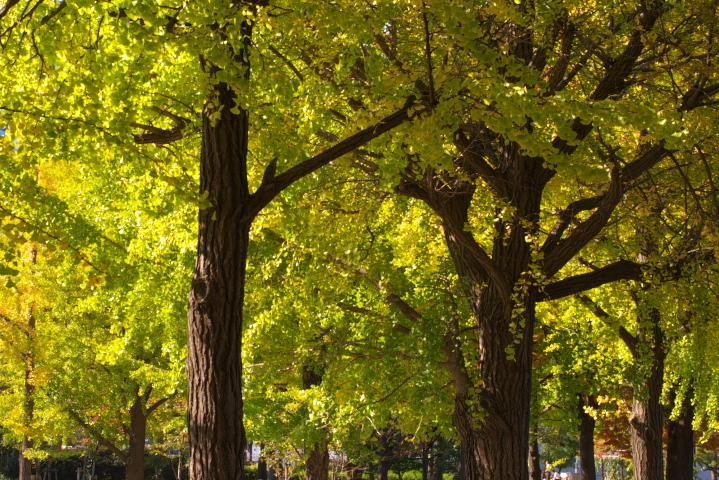 銀杏_大阪城公園