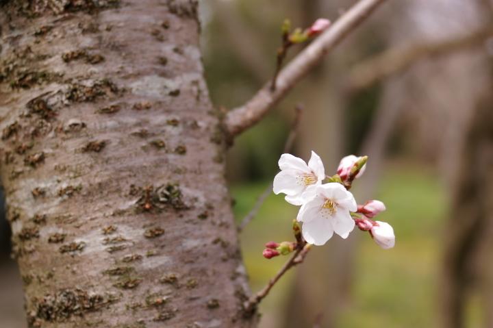 桜_散歩道